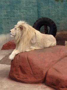 Ramses the White Lion at Capron Park Zoo