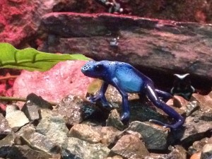 Poison Dart Frogs at Capron Park Zoo