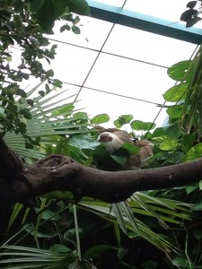 Two Toed Sloth at the Capron Park Zoo