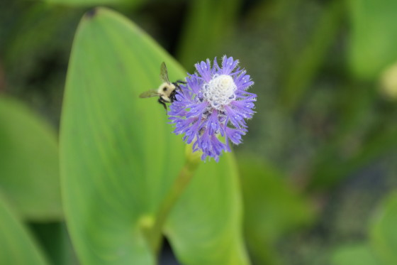 Plenty of Busy Bees at Stony Brook