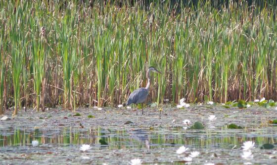Blue Heron on Falls Pond